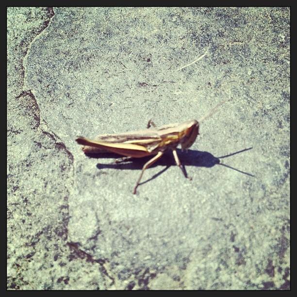Grasshopper #instagram #Grasshopper #Insect